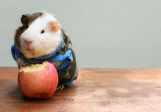 Guinea pig put on clothes and bite an apple. Stock Photo