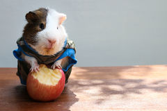 Guinea pig put on clothes and bite an apple. Royalty Free Stock Images