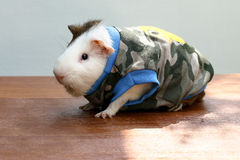 Guinea pig put on clothes. Stock Images