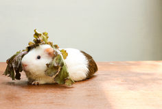 Guinea pig put the lettuce on her head and sitting on the desk. Stock Photo