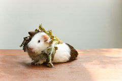 Guinea pig put the lettuce on her head and sitting on the desk. Royalty Free Stock Photography