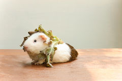 Guinea pig put the lettuce on her head and sitting on the desk. Stock Image