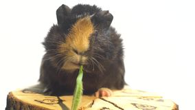 Guinea pig quickly eats a twig of greenery sitting on a decorative stump stock video