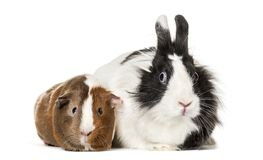 Guinea pig and rabbit sitting against white background. Isolated on white Royalty Free Stock Images