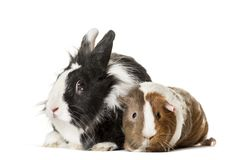 Guinea pig and rabbit sitting against white background. Isolated on white Royalty Free Stock Photos