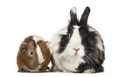 Guinea pig and rabbit together sitting against white background. Isolated on white Stock Images