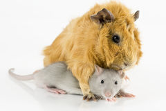 Guinea pig and rat. Playing on white background Stock Image