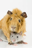 Guinea pig and rat playing Royalty Free Stock Photography