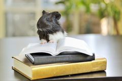 Guinea pig reading Stock Photo