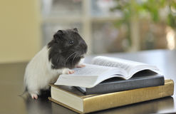 Guinea pig reading Royalty Free Stock Images