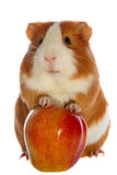 Guinea pig and red apple isolated. Over white Stock Photography