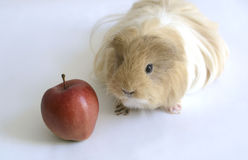 Guinea pig with red apple on Oct 2, 2015 Royalty Free Stock Images