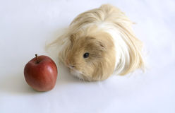 Guinea pig with red apple on Oct 2, 2015 Royalty Free Stock Image