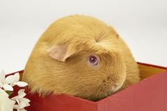 Guinea Pig In Red Box. A Saffron crested guinea pig in a red box stock image