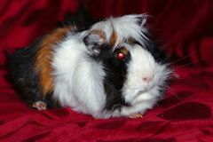 Guinea pig on red matter royalty free stock images