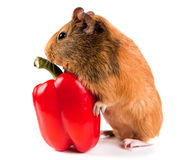 Guinea pig and a red pepper Royalty Free Stock Photos