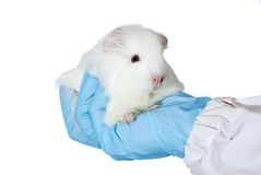 Guinea pig in the researchers' hand Royalty Free Stock Photos