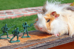 Guinea pig resists to toy soldier Stock Image