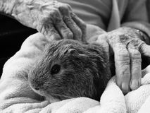 Guinea pig in a rest home. Guinea pig sitting on the lap of an elderly rest-home resident. Black and white image royalty free stock photo