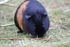Guinea pig Royalty Free Stock Photos