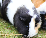 Guinea pig. Rex walking and foring on grass. Foto is taken in wildlands zoo in Emmen stock images