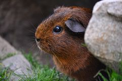 Guinea Pig, Rodent, Cute, Eyes, Fur Stock Photos