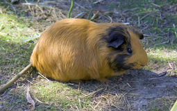 Guinea pig rodent mammal wool moustaches Royalty Free Stock Photography