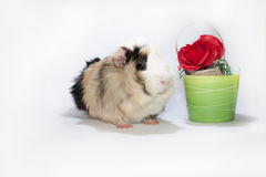 Guinea pig and the rose Royalty Free Stock Image
