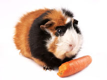 Guinea pig, rosette Cavia porcellus Royalty Free Stock Photography