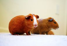 Guinea pig`s meditation stock images