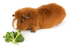 Guinea pig with salad Stock Photography