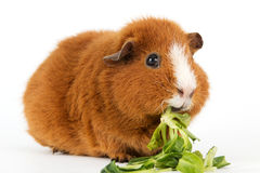 Guinea pig with salad Stock Photos