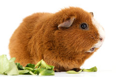 Guinea pig with salad Royalty Free Stock Image