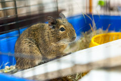 Guinea pig for sale Stock Photo