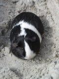 Guinea pig on beach royalty free stock photo