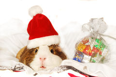Guinea pig in Santa hat Stock Photo