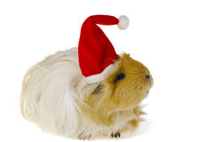 Guinea pig in santa's hat isolated Royalty Free Stock Photos