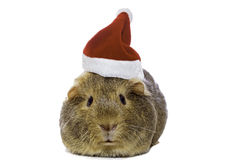 Guinea pig in Santa's hat Stock Photos