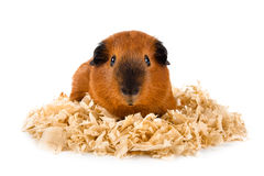Guinea pig on sawdust on white background. Guinea pig sitting on sawdust on white background Stock Photo