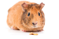 Guinea pig with seeds Stock Photography