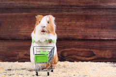 Guinea pig with shopping cart. On brown background stock image