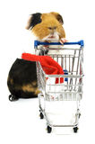 Guinea pig is shopping for a christmas hat Royalty Free Stock Images