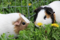 6587 guinea pig shoulder Royaltyfria Foton