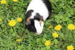 6587 guinea pig shoulder Arkivfoton