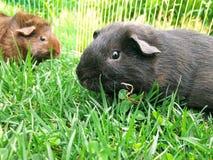 6587 guinea pig shoulder Royaltyfria Bilder