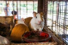 6587 guinea pig shoulder Arkivfoto