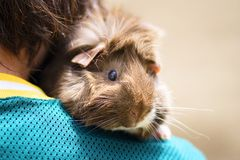 Guinea Pig on Shoulder. Front view of brown Guinea pig on boy's shoulder.  Upper half of body and paw shown. Guinea pig is facing camera, boy has back to camera Royalty Free Stock Photos