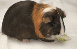 6587 guinea pig shoulder Royaltyfria Bilder