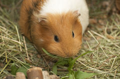 6587 guinea pig shoulder Royaltyfri Bild