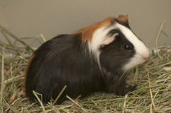 6587 guinea pig shoulder Royaltyfri Foto